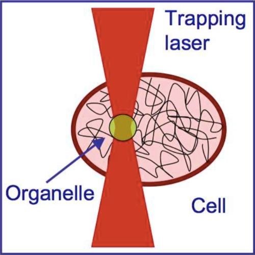 Actin-cytoskeleton Depolymerisation Detection in a Single Cell published in Opt. Express